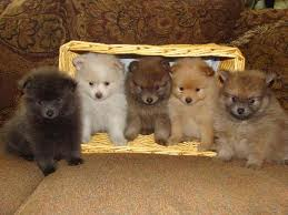 Exceptional Litter Of Pomeranian Puppies Available For Adoption - Pom