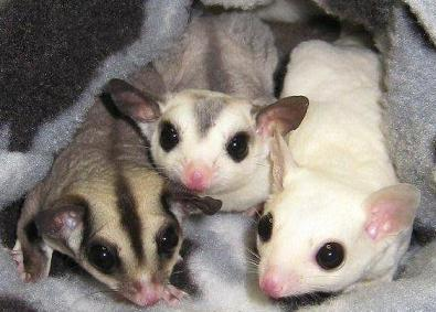 Sugar Gliders For Sale - S