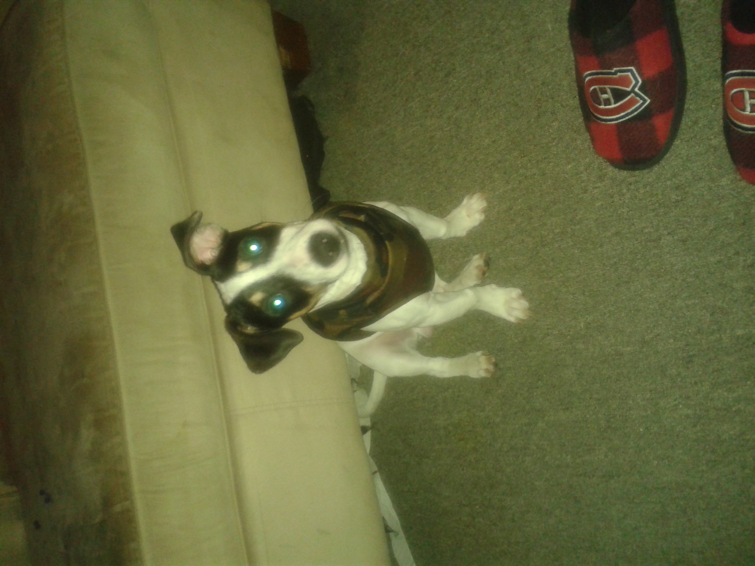 Month Old Jack Russell - 214503