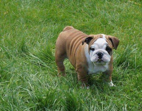 Outsatnding English Bulldog Puppies -