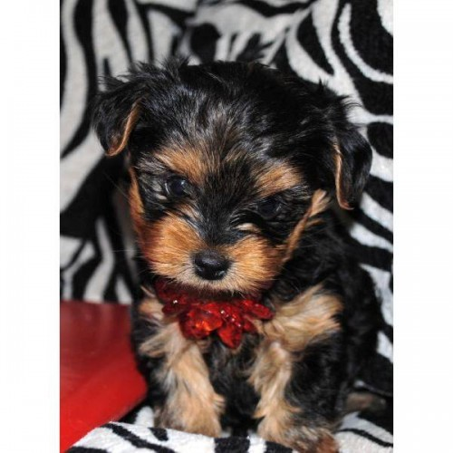 TOP QUALITY YORKIE PUPPIES READY NOW - Y