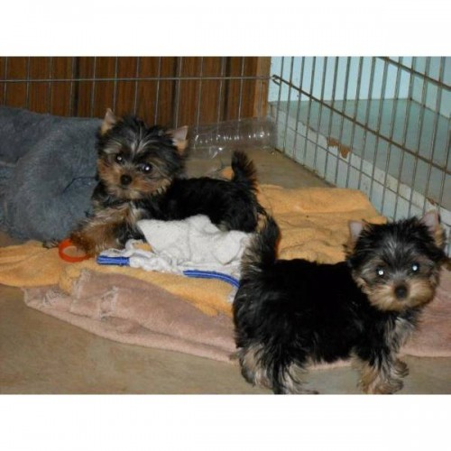 TOP QUALITY YORKIE PUPPIES READY NOW - Yy
