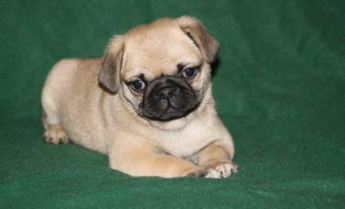 Fawn And Black Pug Puppies Ready - Fanny