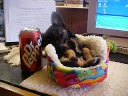 Yorkie Puppies - 2