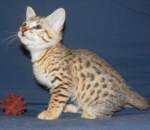 Savannah Kittens For Sale F2 Savannah Kitten Available - Album