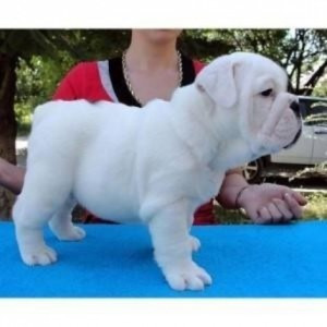 Potty Trained English Bulldog Puppies Are Available - English Bulldog3