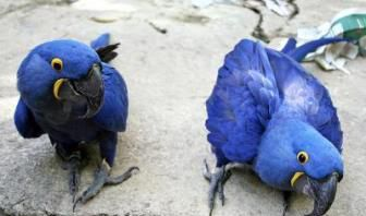 Male And Female Hyacinth Macaw Parrots For Sale - Birds 627 1