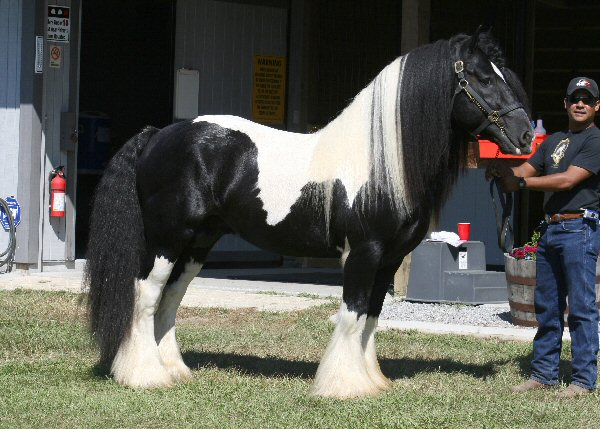 Gypsy Vanner Horse For Adoption - Lilly7