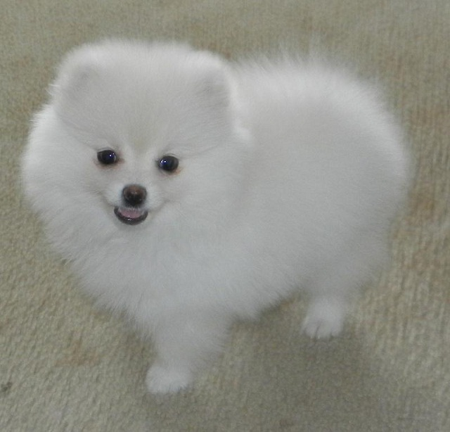 Teacup Pomeranian Puppies For Adoption -