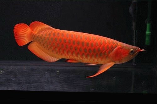 Top Asian Super Red Arowana Fish And Others For Sale -