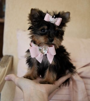 Teacup Yorkie PuppY For Free Adoption - 3