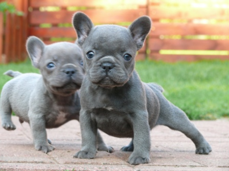 French Bulldog Puppies Available - Honey Blue2