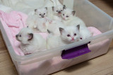 Pretty Ragdoll Kittens For Sale - Ra