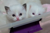 Pretty Ragdoll Kittens For Sale - Ragd