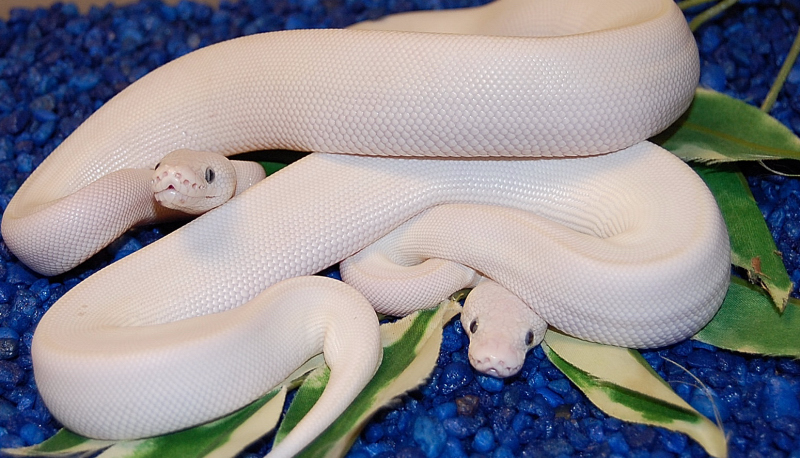 Blue Eyed Lucy Python Available For Your Home - Lucyca