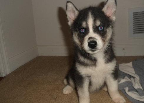 Siberian Husky Puppy - Wt65n2