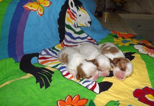 Cavalier King Charles Spaniel Puppies -