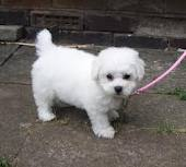 2 CKc Pedigree Bichon Frise For Sale - Bichon Frise