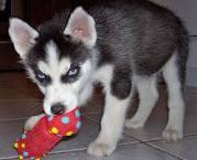 Blue Eye Siberian Pups For Sale - Siberian1
