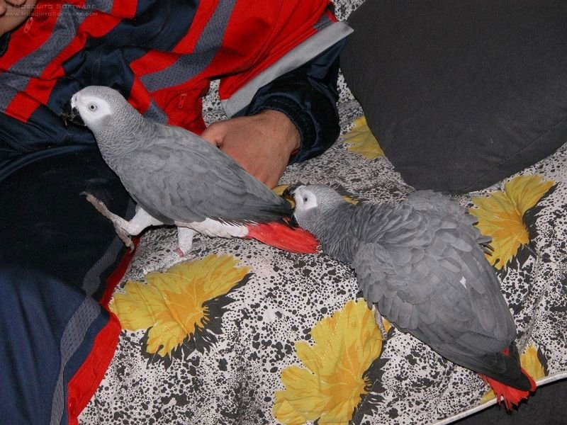 Caban African Grey Parrots -
