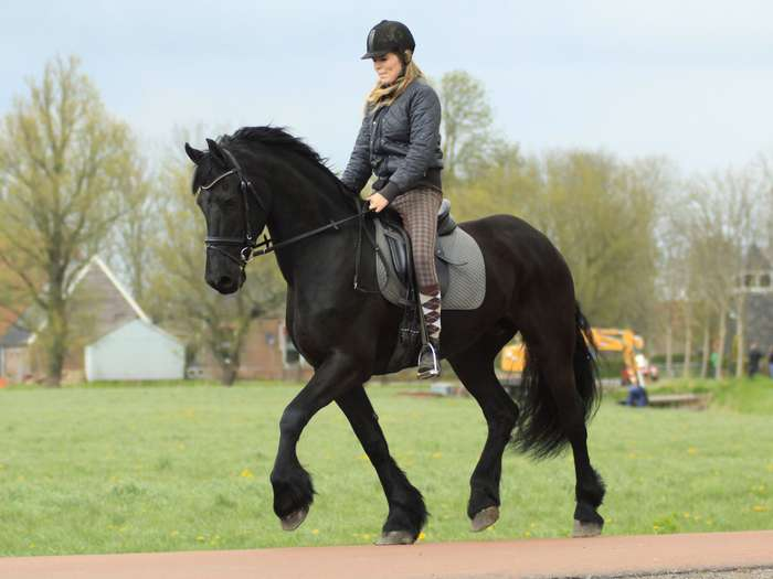 Beautiful 9 Years Old Friesian Gelding He Is A 100% - Jesse 9