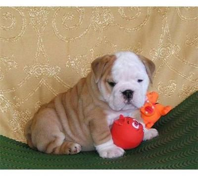 Champion Bloodline English Bulldog Puppies(jose Garro@yahoo Com) - Fff