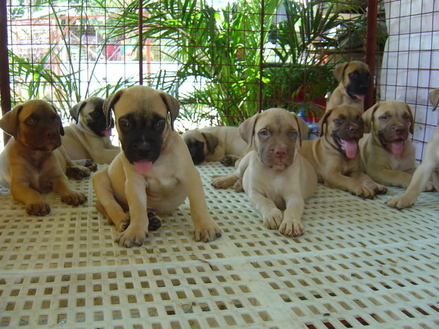 Lovely Bullmastiff Puppies For Sale -