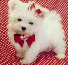 Week Old T Cup Maltese Puppies EMAIL(marcbradly1975@gmail Com) - 20