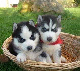 Blue Eyes Siberian Husky Puppies Ready To Go - Husky1