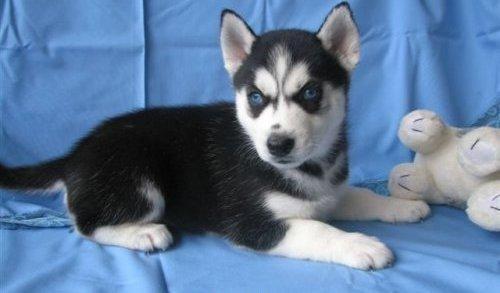 Mavelouse Siberian Husky Email Address(jerryjone41411@gmail Com) - Fff