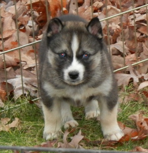 Calm And Wonderful Siberian Husky Puppies Just For You -