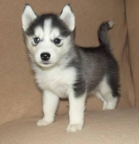 Husky Puppies:Email Address(jerryjone41411@gmail Com) - Fff