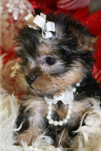 Tiny Yorkshire Terrier Puppy - Yorkie