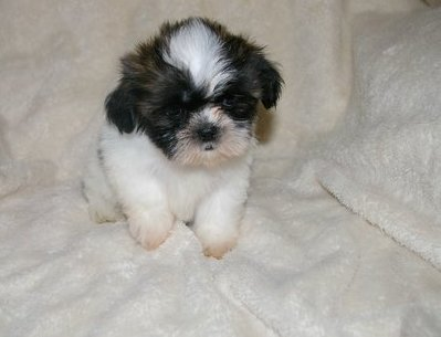 Full Pedigree Shih Tzu Puppies Available - Shih