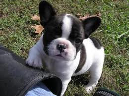 St Vaccination French Bulldog Puppies - French1