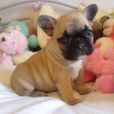 St Vaccination French Bulldog Puppies - French2