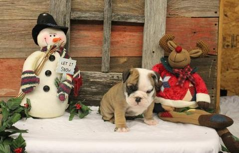 Wrinkle English Bulldog Puppy - English2