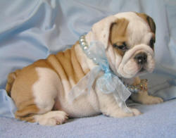 Beautiful KC Registered English Bulldog Puppies EMAIL(thomasheather7575@yahoo Com) - Fff