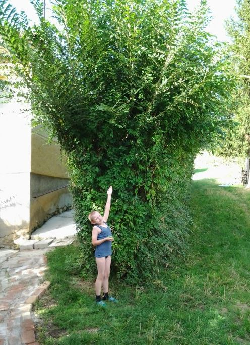 Fast Growing Hedges -
