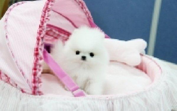 Tiny Pomeranian Puppies -