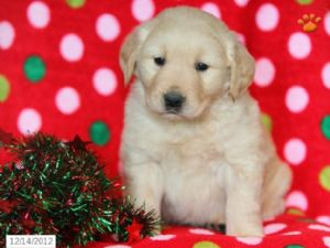 We Have Several Litters Of Absolutely Adorable Labrador Retriever Puppies Available -
