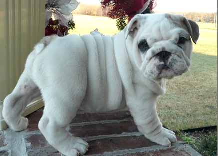 Generous Strong English Bulldog Available For Pet Lovers -