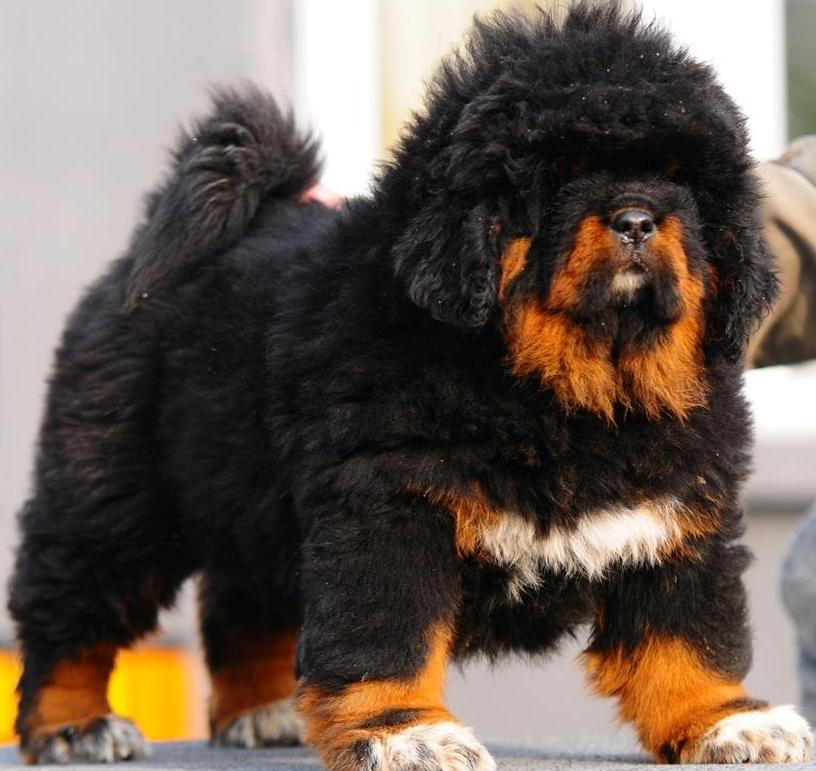 Lion head tibetan mastiff puppies for sale in Mississauga