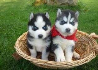 Lovely Blue Eyes Siberian Husky Puppies Available For X Mas - Husky