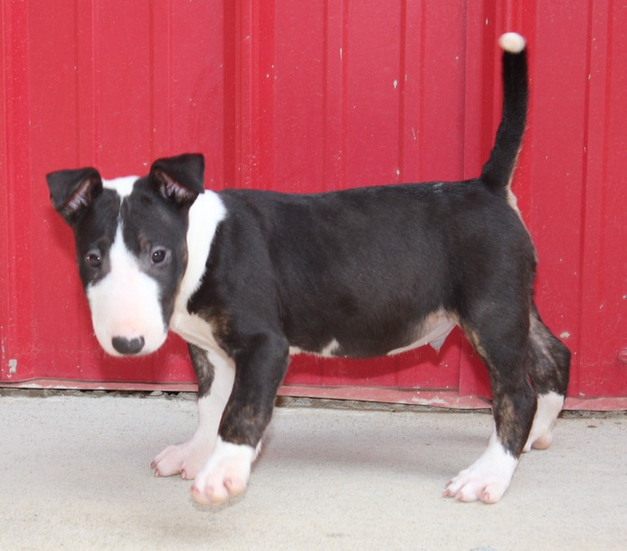 Outstanding Bull Terrier Puppies For Sale - Bronco Billy 22 Med