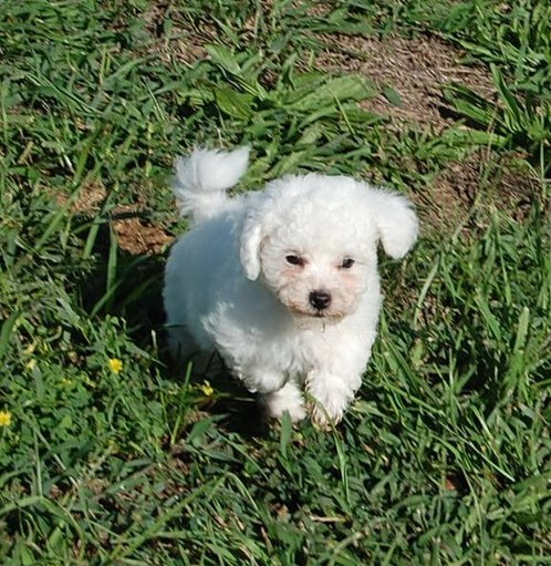 Edmonton Bichon Puppies : Dogs, Puppies for Sale ...