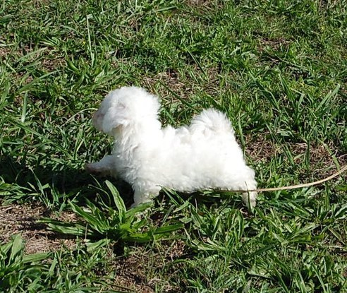 Edmonton Bichon Frise : Dogs, Puppies for Sale Classifieds ...