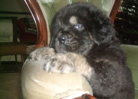 Tibetan Mastiff Puppies - E921 Jpg