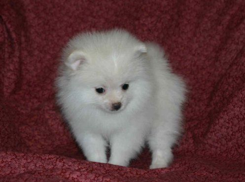 T CUP POMERANIAN PUPPIES CONTACT US AT (pattrobertson75@yahoo Com) - Fff