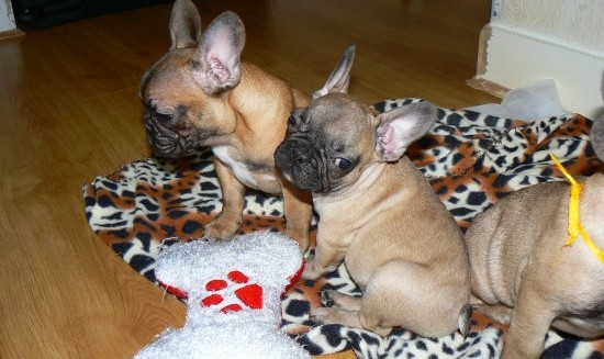 French Bulldog Mix Puppies For Sale California